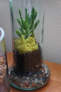 Plants - Jade in Terrarium