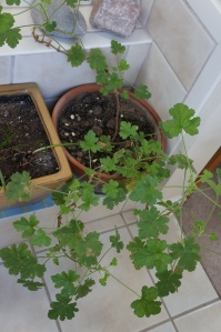 plants - rose geranium