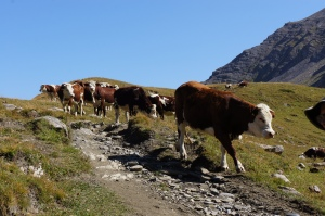 Travel - TMB - Cows 5