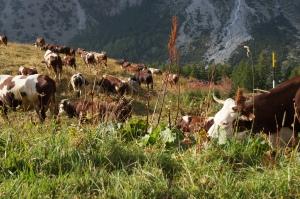 Travel - TMB - Cows 4