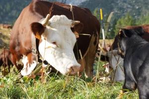 Travel - TMB - Cows 3