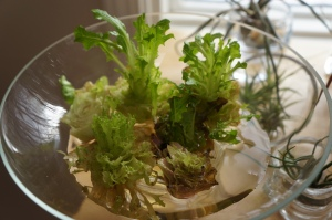 Food - Regrowing Lettuce