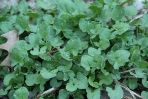 Plants - Buckler Sorrel