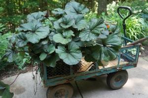 Plants - Giant Ligularia