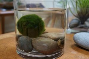Plants - Marimo Moss Ball