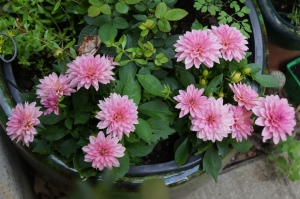 Plants -  Dahlias