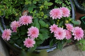 Plants -  Dahlias