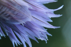 Photography - Macro chive flower