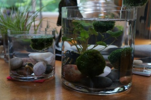 Plants - Marimo update 2