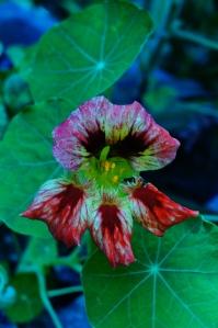 Plants - Nasturtium 1
