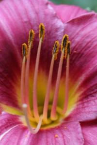 Plants - Daylily closeup
