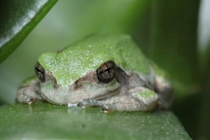 Photography - clear frog