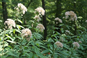 Plants - Joe Pye Weed 2