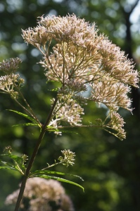 Plants - Joe Pye Weed