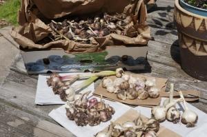 Plants - Garlic