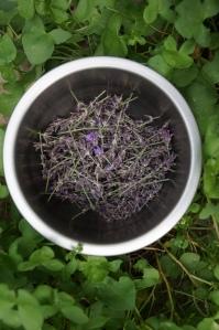 Plants - Lavender 1