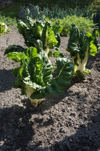 Travel - TMB Swiss Chard