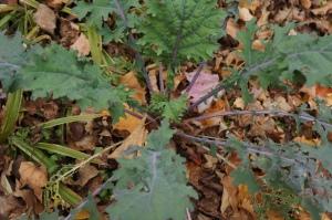 Plants - Kale