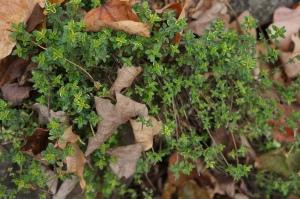 Plants - Lemon Thyme