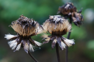 Plants - Ligularia Seedheads