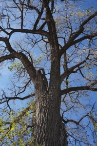 Plants - Cottonwood 1