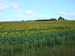Photography - Sunflower Field