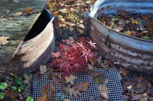 Plants - Japanese Red Maple 2