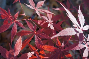 Plants - Japanese Red Maple 1