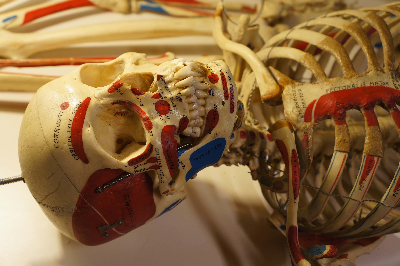 Anatomy Study With Real Bones Lavish Living